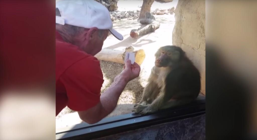 這位遊客在動物園給一隻玻璃窗前的狒狒表演紙牌魔術,看到狒狒超有戲表情會讓你瞬間融化~!